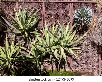 Phoenix street decorated with desert succulent plants climbing up the fence wall, Arizona