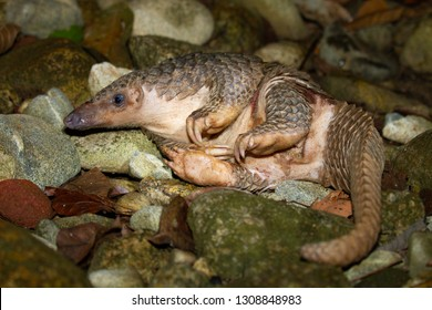 Pholidota Indian pangolin thailand