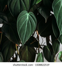 Pholodendron Micans leaves on a white background, creative tropical plant concept, Philodendron Hederaceumor Velvet Leaf Philodendron