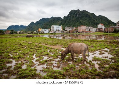 Phong Nha, Vietnam - March 8 2017: countryside, rural areas, buffalo grazing on the field.