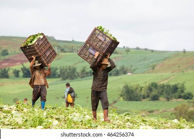 PHOP PHRA, TAK, THAILAND - AUGUST 05, 2016 : Unidentified Myanmar migrant workers are carrying baskets of Chinese cabbage on shoulders at Ban Chibabo, Tambol Khiri Rat, Phop Phra, Tak, Thailand.