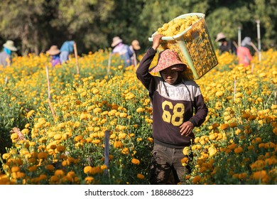 Phop Phra, Tak, Thailand - January 02, 2021 : Unidentified Myanmar worker shoulder carrying a basket marigold flowers for transport to city at Phop Phra,. Tak, Thailand.