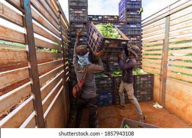 Phop Phra, Tak, Thailand - October 20, 2020 : Unidentified Myanmar migrant workers are loading baskets of Chinese Cabbage on truck at Ban Pakha Mai, Khirirat sub-district, Phop Phra, Tak, Thailand.