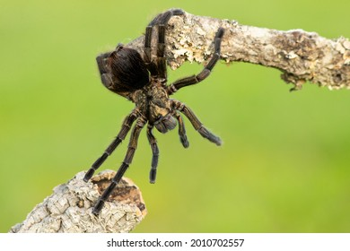 Phormictopus auratus, commonly known as the Cuban bronze tarantula, is a species of tarantula endemic to Cuba.