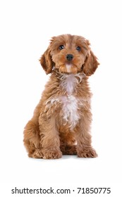 Photo of an 11 week old male red and white Cockapoo puppy, who is a F1 cross breed between a cocker spaniel and a poodle, sitting looking at camera and isolated on a white background.