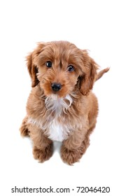 Photo of an 11 week old male red and white Cockapoo puppy, who is a F1 cross breed between a cocker spaniel and a poodle, sitting looking up at camera and isolated on a white background.