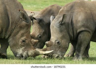 a photo of 3 rhino in a fight