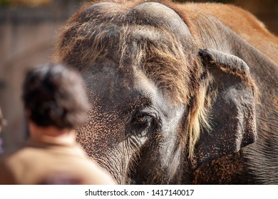 Photo about proportions; huge elefant head in focus and blurred back of a human head in the front