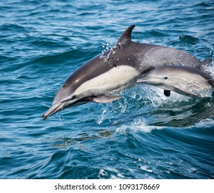 A photo of an adult and juvenile common dolphin swimming in the ocean near Newport Beach.