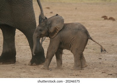 A photo of an African elephant baby in the wild