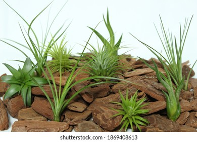 Photo of Airplants (Tillandsia) on white background