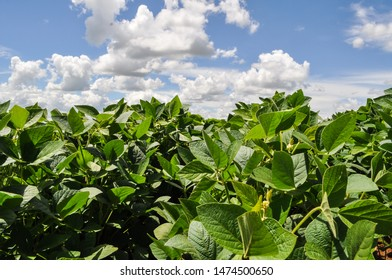 photo amidst Brazilian soybean plantation, with blue sky and clouds