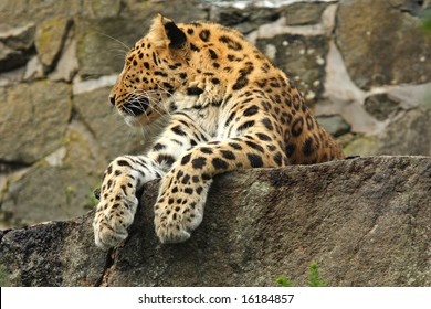 photo of a amur leopard resting on a rocky ledge