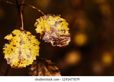 Photo of aspen leaves on a tree. Golden autumn. Warm brown and dark background