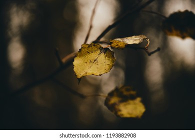 Photo of aspen leaves on a tree. Stylized as analog gained photo. Golden autumn. Warm brown and dark background