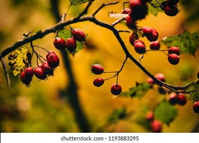 Photo of autumn berries on tree.