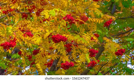 Photo of the autumn landscape. Bunches of red mountain ash on the background of bright beautiful autumn leaves.