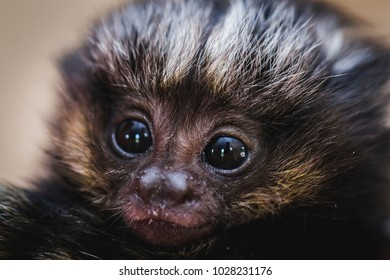Photo of a baby black tamarin (scientific name: Leontopithecus chrysopygus) is a New World Monkey, of the family Cebidae and subfamily Callitrichinae.