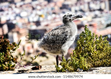 Photo Baby Seagull Stock Photo (Edit Now) 1148679974 - Shutterstock