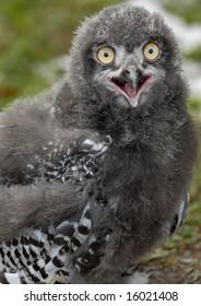 Photo of baby Snowy Owl