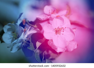 Photo background of the beautiful white flowers of an apple tree on a spring background