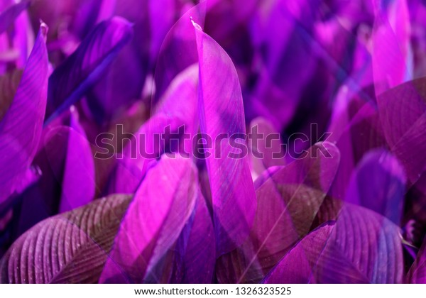 Photo background of bright purple exotic leaves in the tropics