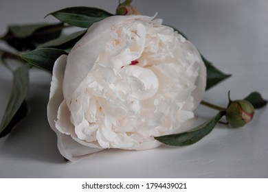 Photo for the background.  Delicate white peony on the table.  Wedding theme. Minimalistic background for title lettering.