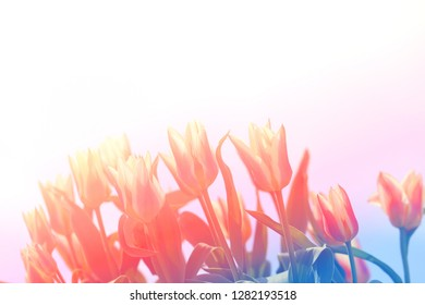 Photo background macro spring bouquet of flowers and tulips