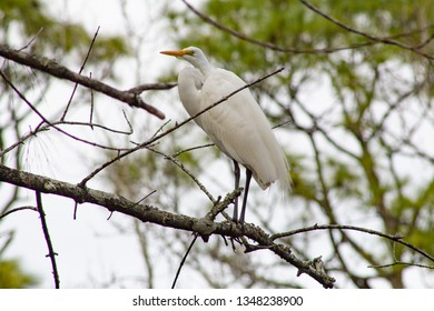 Photo of beautiful audubon crane bird of North Carolina standing perched on a tree branch in the wild