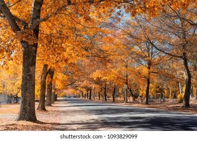 A photo of beautiful autumn trees in Avenue of Honour in Macedon, Victoria, Australia.