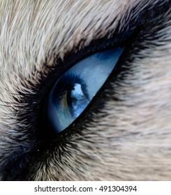 Photo beautiful blue eyes husky dog closeup. husky: one blue eye