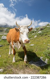 photo of beautiful cow grazing at alpine meadows