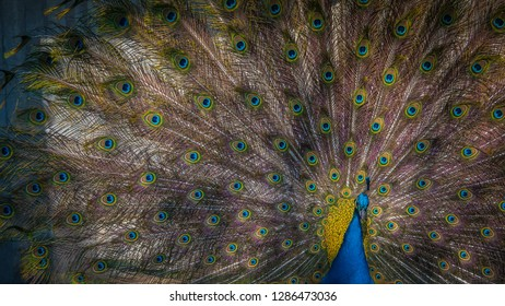 A photo of the beautiful feathers of an Indian peafowl or blue peafowl or Pavo cristatus, a large and brightly colored bird. This peacock belongs to the species of peafowl native to South Asia.