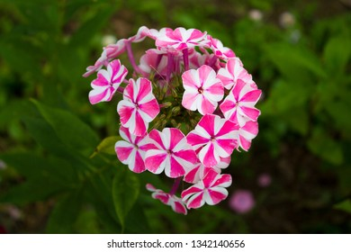 Photo of a beautiful flower phlox in daylight.