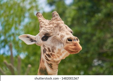 photo of a beautiful giraffe head in nature