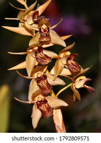 A photo of a beautiful orange orchid species, known as Coelogyne prolifera (Latin name).