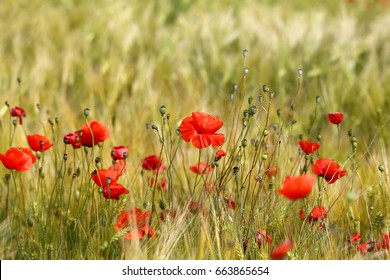 Photo of beautiful poppies blossoming in a meadow