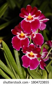 A photo of a beautiful red orchid hybrid, known as Miltoniopsis (Latin name) Bert Fields.