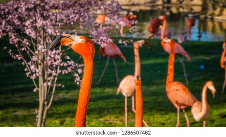 A photo of a beautiful scene of a family of big pink flamingos looking for food and walking among almond trees on a lovely sunny spring day. Flamingos are wading birds in the family Phoenicopteridae.