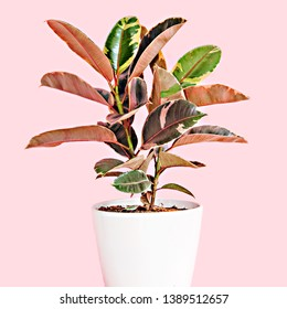 A photo of a beautiful Variegated Rubber Tree (Ficus Ruby) pot plant with stunning red, pink, and white variegated leaves, in a white pot, isolated on a pink background.
