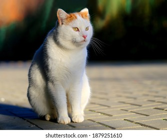 Photo of a beautiful white cat illuminated by the sun in the park. Example of a cat for advertising