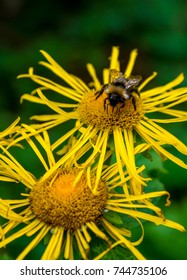 Photo of beautiful yellow wild flower with bumblebee in Carpathian mountains
