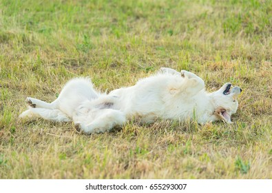 Photo of a beauty Golden retriever dog in the nature