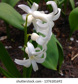 Photo of a beauty white hyacinth flower. Background of blooming hyacinth with white buds petals and green leaves