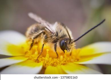 Photo of a Bee on a flower. Melittidae. Macropis europaea.