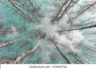 photo from below high birch trees against azure sky
