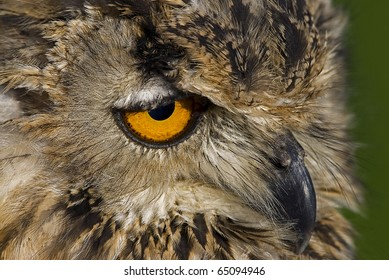 Photo of a Bengal Eagle owl (Bubo bengalensis) also known as a Rock Eagle Owl or Indian Eagle Owl, a large horned owl native to South Asia.