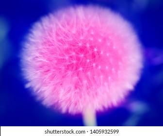 Photo of a big pink huge dandelion flower against a dark background