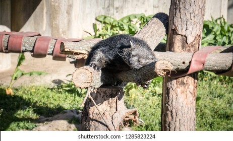 A photo of a binturong, also known as Arctictis binturong or bearcat, with a dense black fur is sleeping over the branch of a tree on a lovely spring day. The bearcat is a viverrid native to Asia.