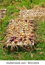 Photo of Biological onions freshly harvested